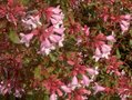 Abelia-grandiflora--Edward-Goucher--®--Co75---50-60