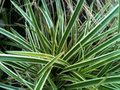 "Carex oshimensis "" Evergreen ""  ( Zegge )"