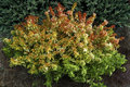 Abelia-grand.--Kaleidoscope---®--Co7.5---50-60