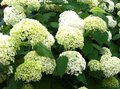 Hydrangea-arb.-Incrediball-Strong®-(-Strong-Annabelle-)---Co3---30-+