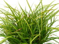 Carex-morrowii-Irish-Green--(-Zegge-)
