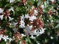 Abelia-grand.-Sherwood--Co3---20-25