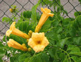 Campsis-rad.-Yellow-Trumpet--(-Flava-)-Trompetbloem---Co2RC---70-80