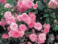 Rosa-The-fairy---Co15L--Roze